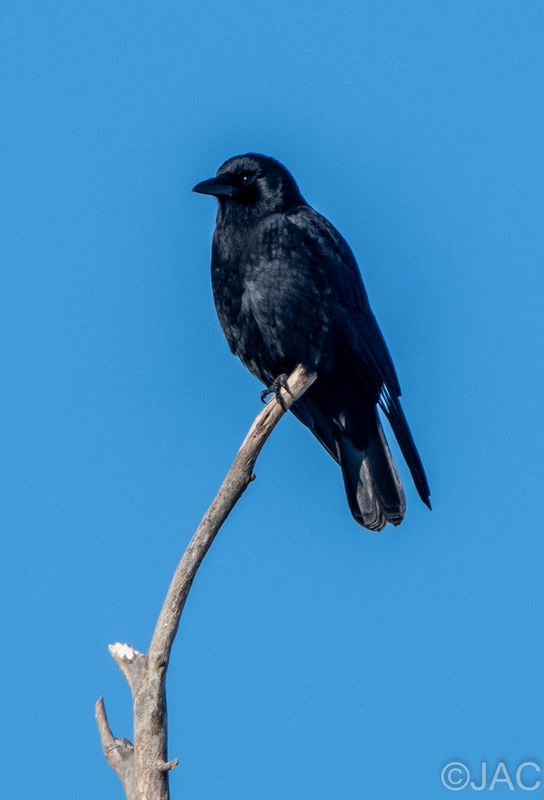Crow_1-5-21.jpg