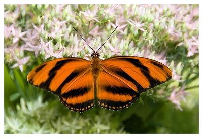 Orange-Banded Heliconian2