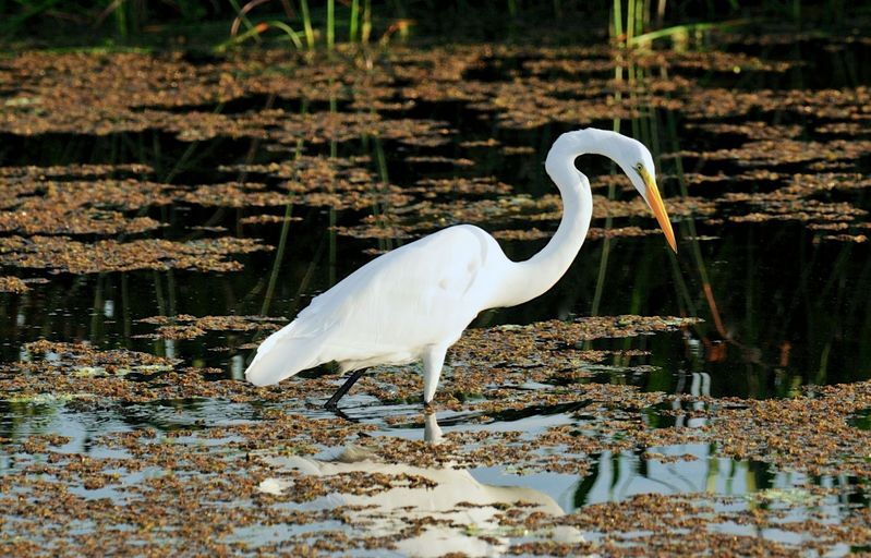 Ardea alba,Great egret
