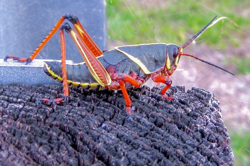 Romalea guttate,Eastern lubber grasshopper
