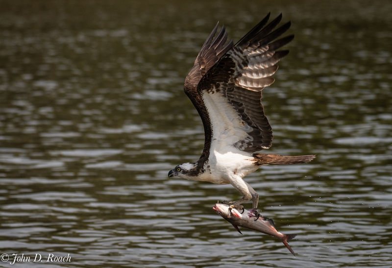 Osprey_Fishing_Sequence-17