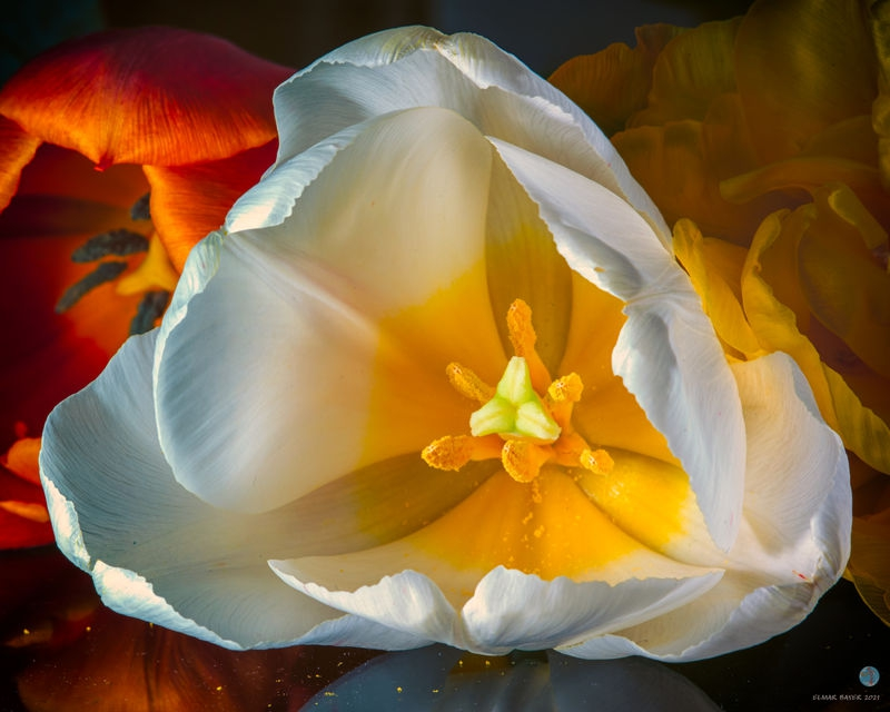 White_Tulip_.jpg
