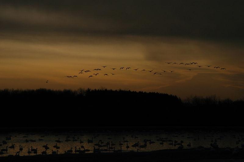 Swans at sunrise 4