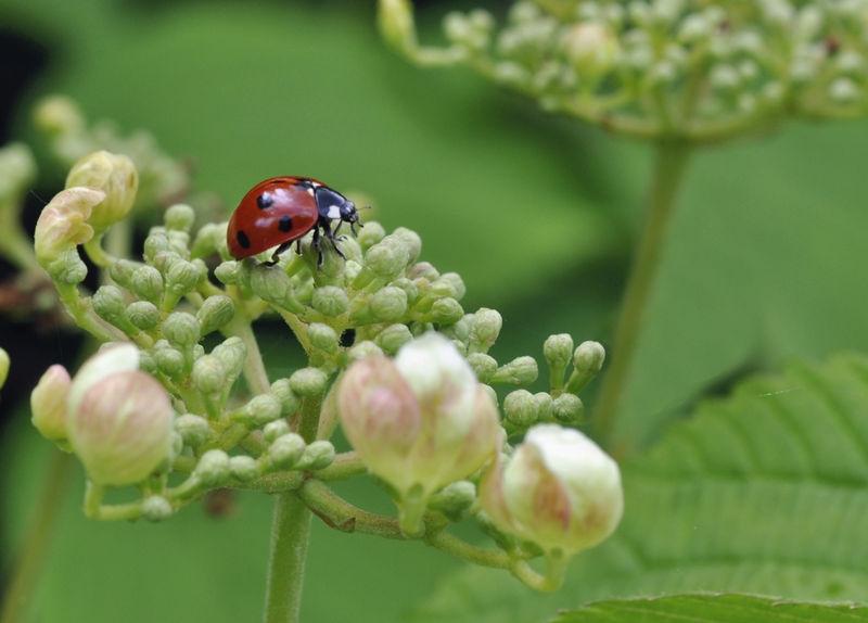 Ladybird on a Viburnum