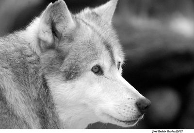ir Wolf