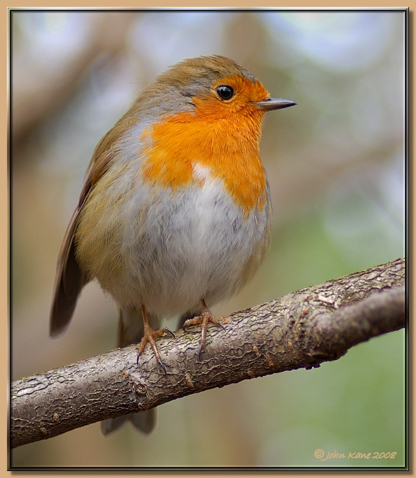 Scottish Robin