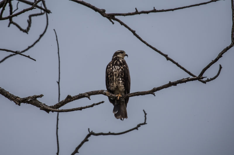 Hawk in Laguna del Diario