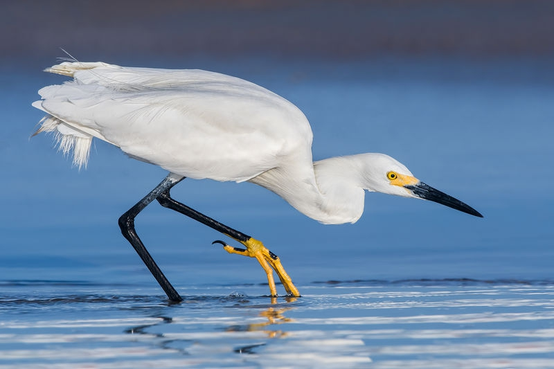 Hunting Snowy Egret