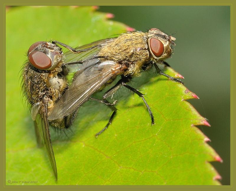 A Pair of Flies