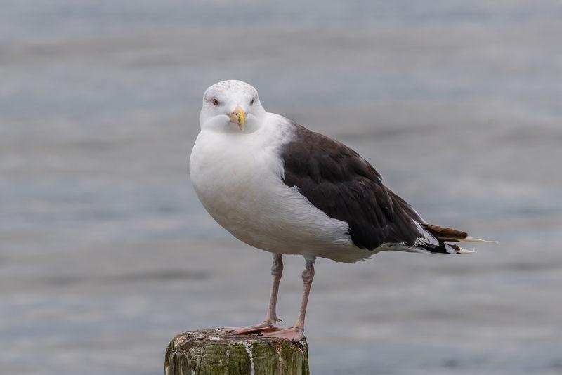 Sea Gull on Piling