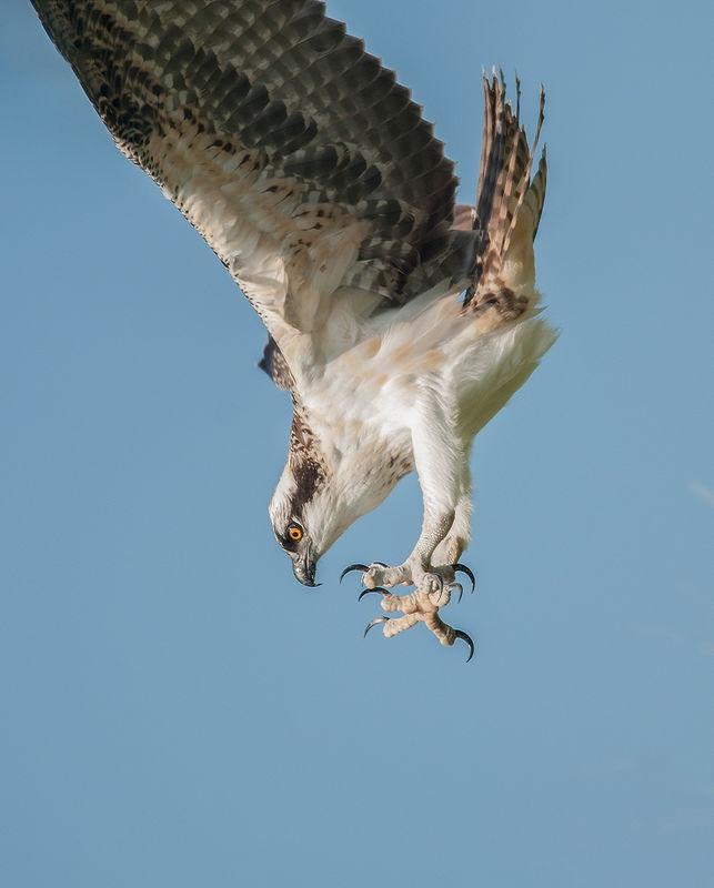 Beak & Talon - Dive