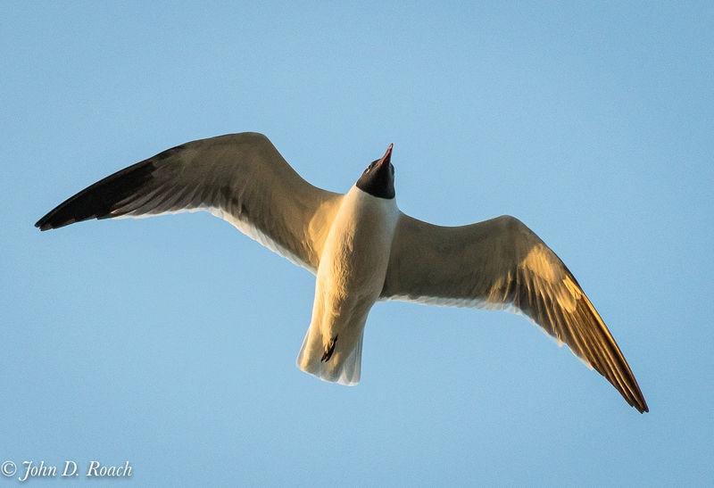 Sunset Light on Gull
