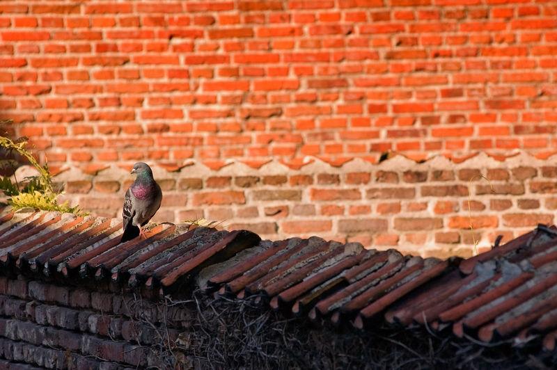 Pigeon on a brick wall
