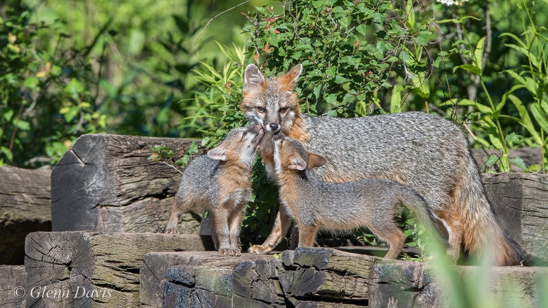 Gray fox with pups