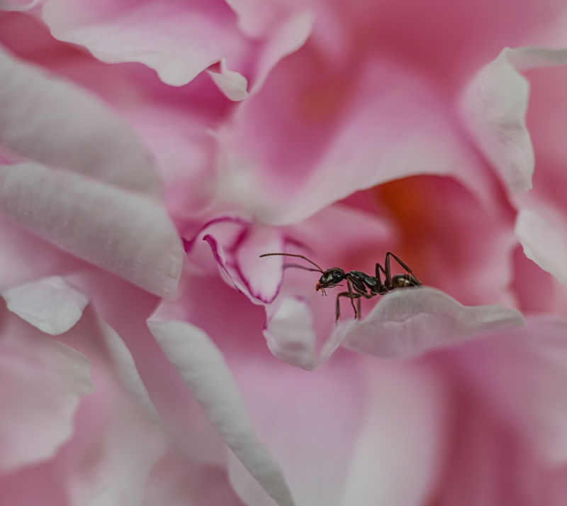 Ant_and_the_Peony.jpg