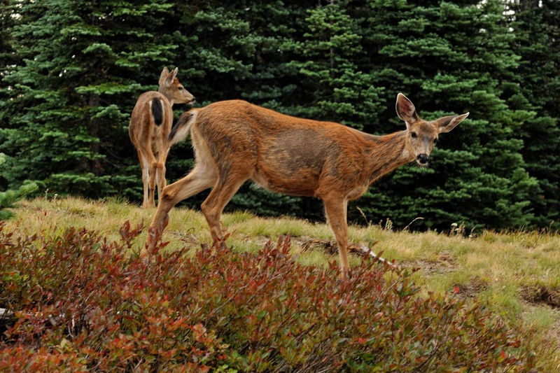 Deer at Hurricane Ridge
