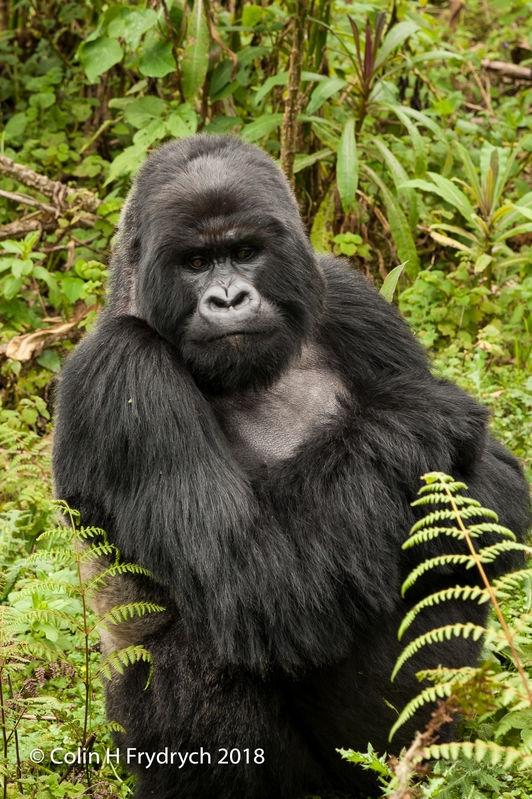 Mountain_Gorillas_Rwanda_4