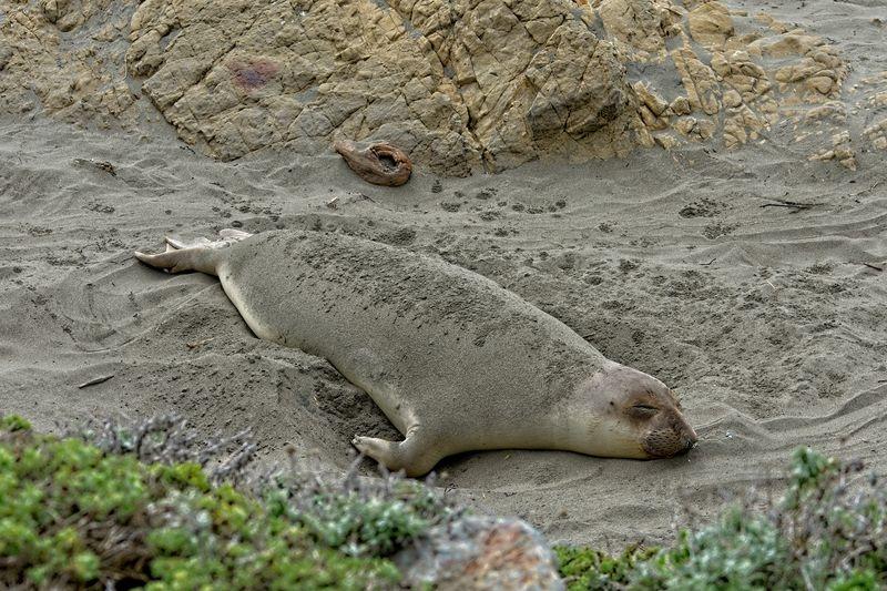 Sea Lion dreaming