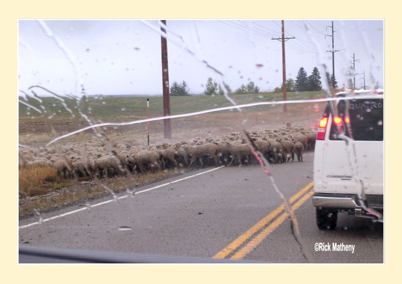 Sheep on the Road3