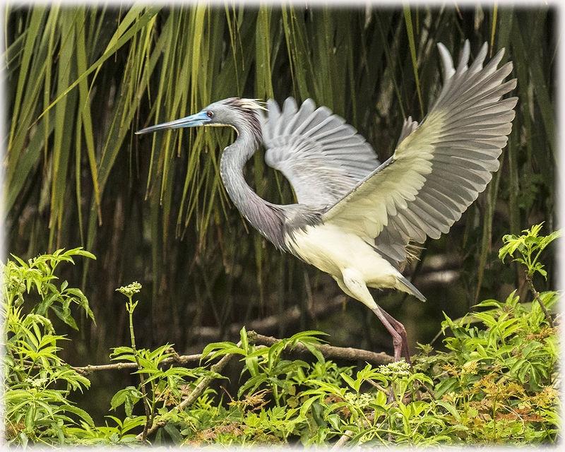 tri-colored heron at take off