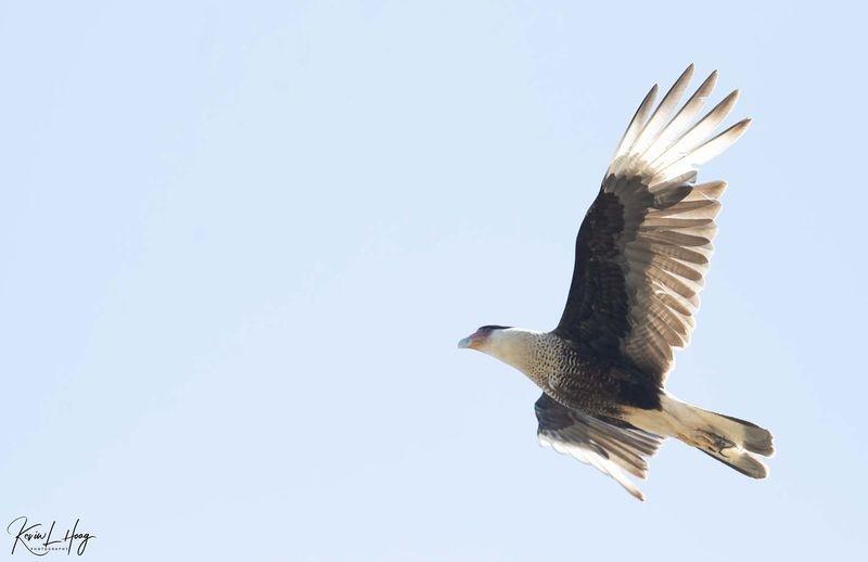 Crested Caracara Aerial Surveillance