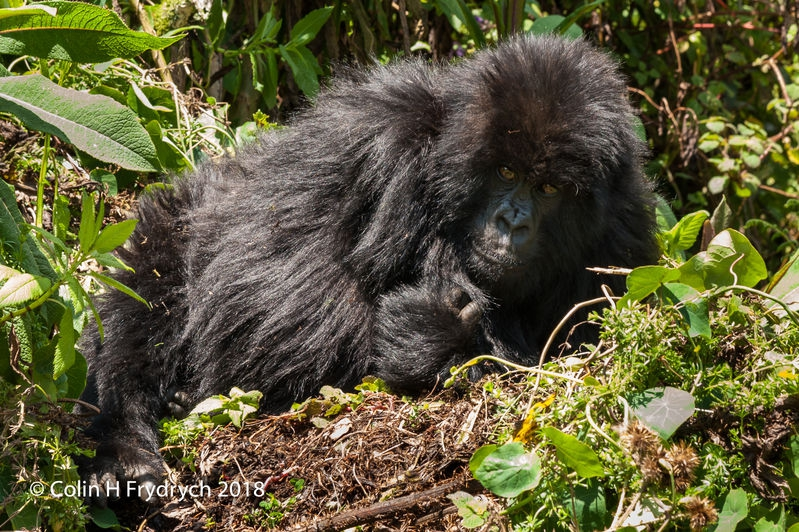 Mountain_Gorillas_Rwanda_1