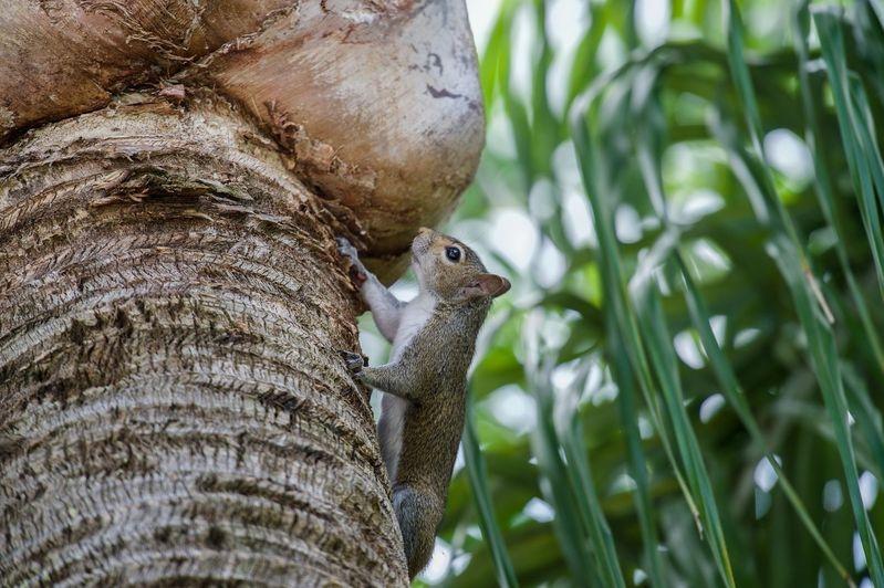 Sciurus carolinensis-Gray Squirrel