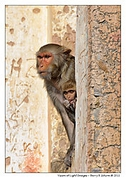 An adult and young monkey keep close watch on activity at an abandoned temple in Jaipur, India