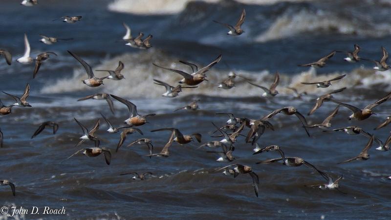 Shore Birds in flight