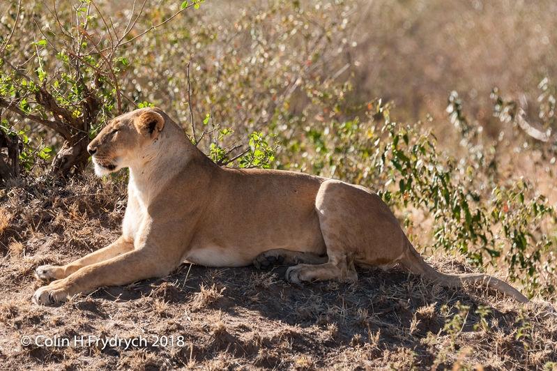Lions_Kenya_5