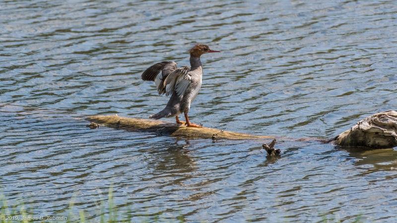 Waterfowl on Log