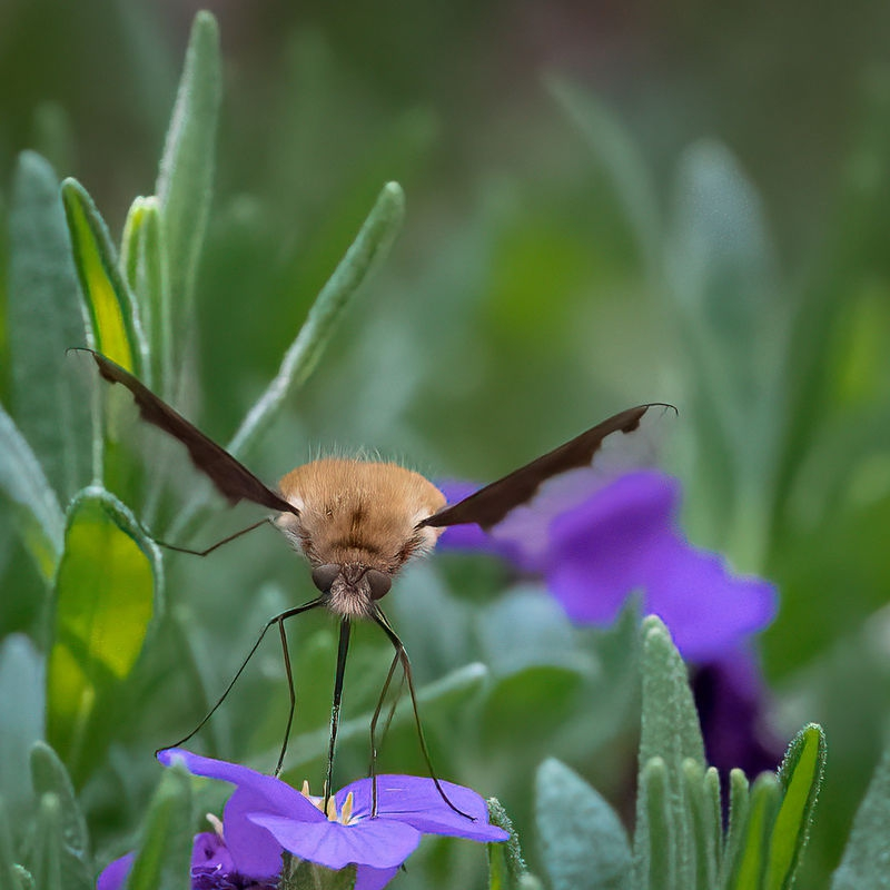 Bee Fly Landing