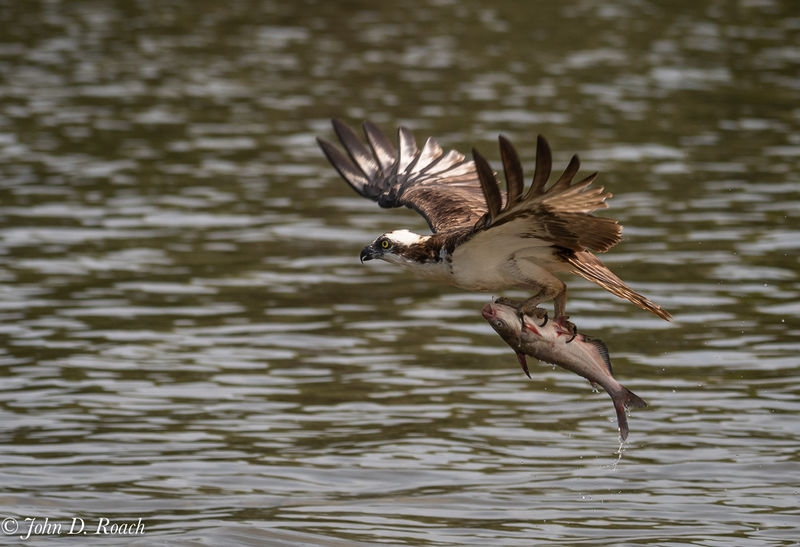 Osprey_Fishing_Sequence-18