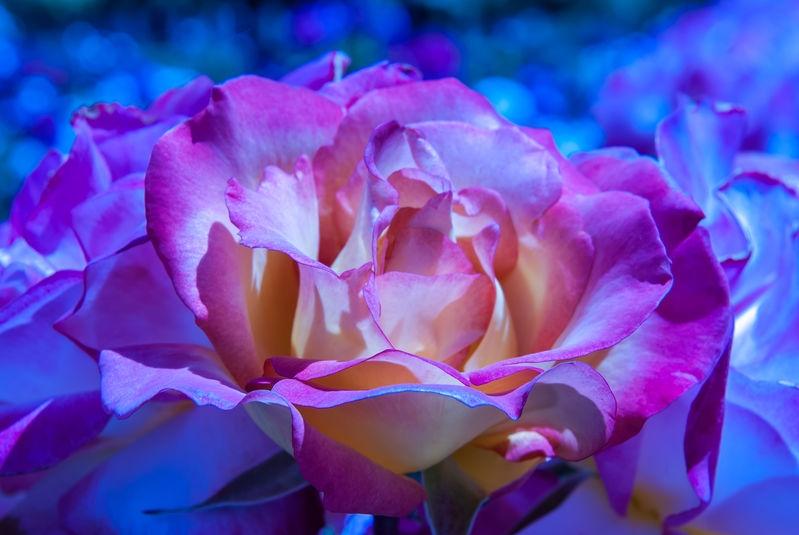 San Jose Rose Garden: Rose at 2,000K White Balance