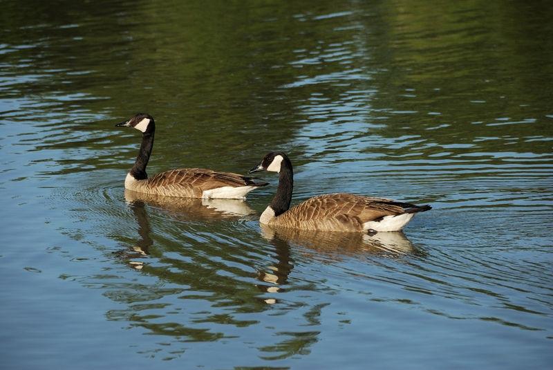 Canada Geese -  Howell Wetlands