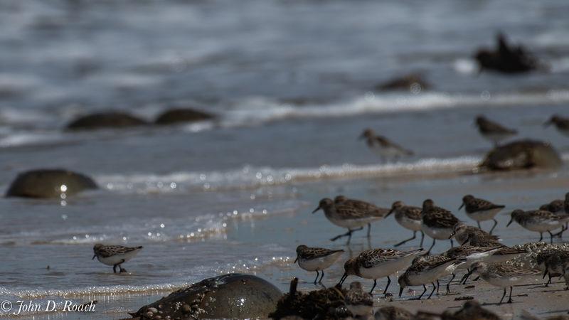 Shore Birds Feeding
