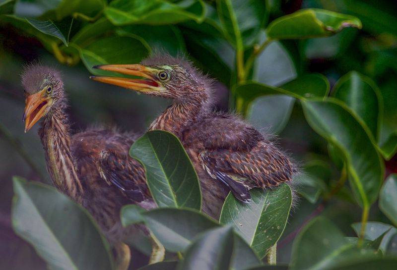 Tricolored Heron's in Nest!