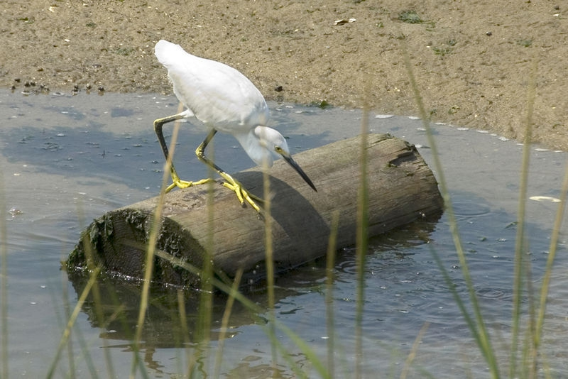 Snowy Egret Lunchtime