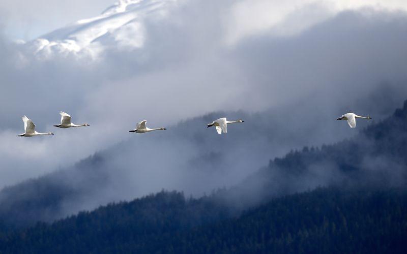 Tundra Swans Over the Tongas Mountains, Alaska