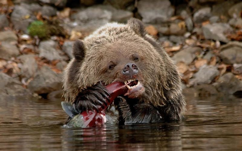 Grizzly and sockeye salmon