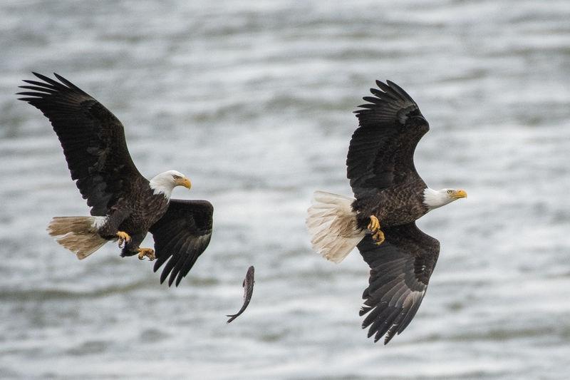 Bald Eagle Fish Transfer