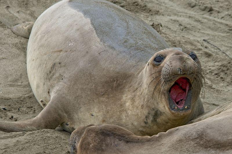 Sea Lion Roar