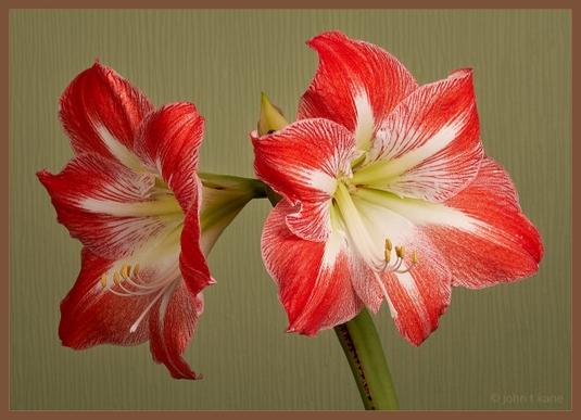 Hippeastrum - Annual Flowering
