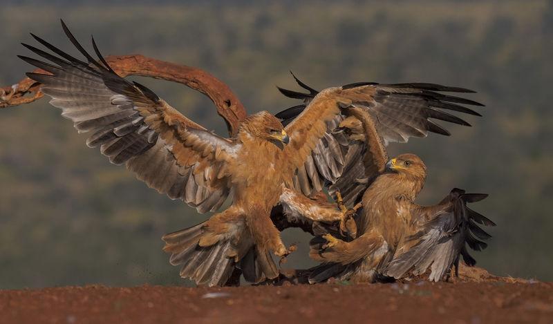 Eagle Squabble