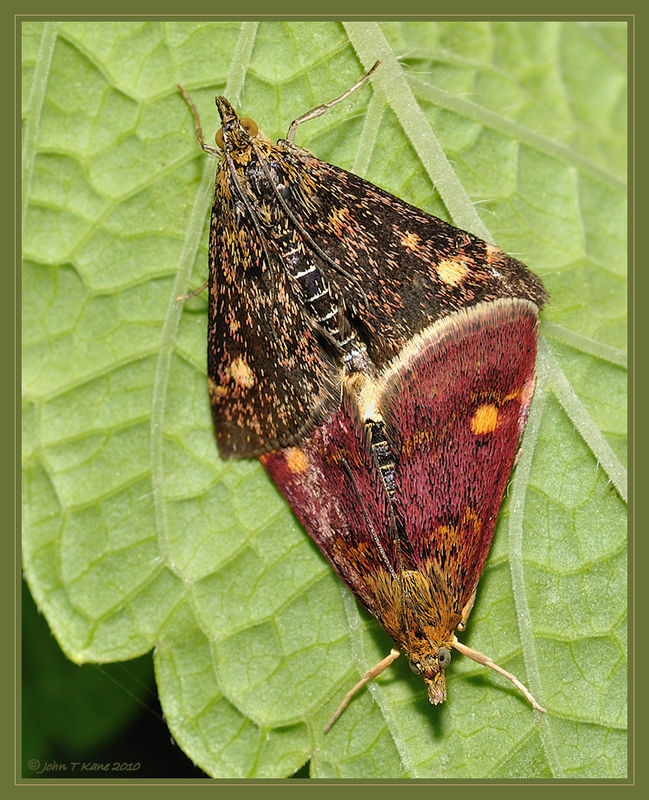 Mint Moths Mating on Mint
