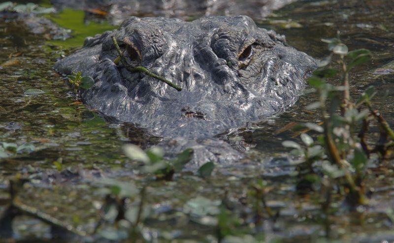 Alligator-mississippiensis-American Alligator