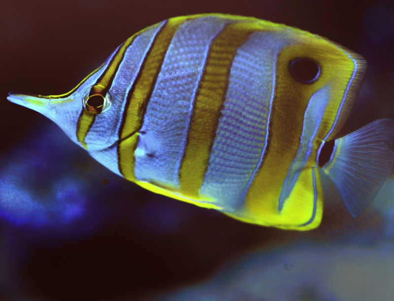 Copper Banded Butterfly Fish