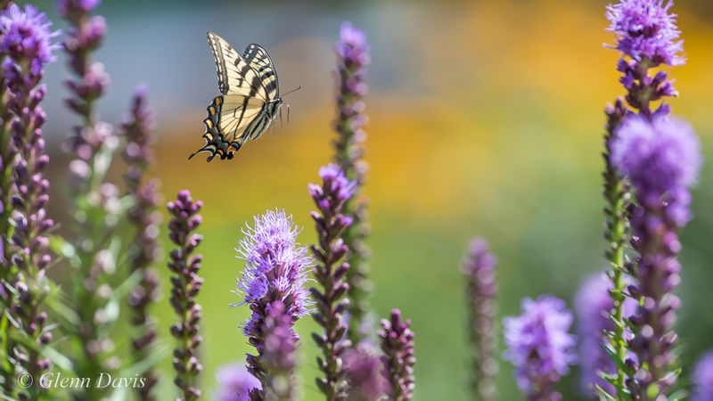 Swallowtail Butterfly flying through Liatrus