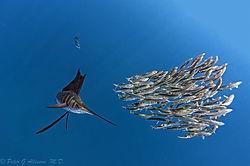 Sailfish (critidoc)