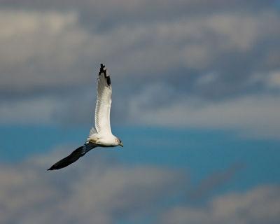 Seagull at Yellowstone Lake
